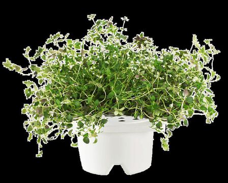 CLICK & GROW - Click & Grow Refill Thyme White